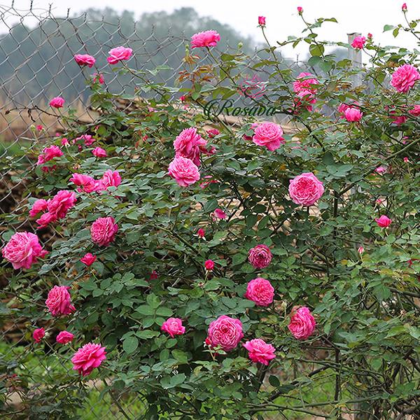 Trồng và chăm sóc hoa hồng cổ rất dễ